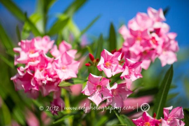 Amazing pink flowers, Sorobonne beach, jibe city, Bonaire beach Eef Ouwehand Commerciele fotografie